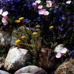 20 facts to know about Flowers and plants for rock gardens