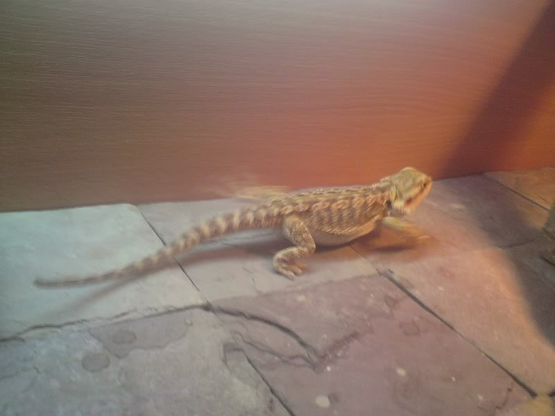 slate tiles for bearded dragons photo - 3